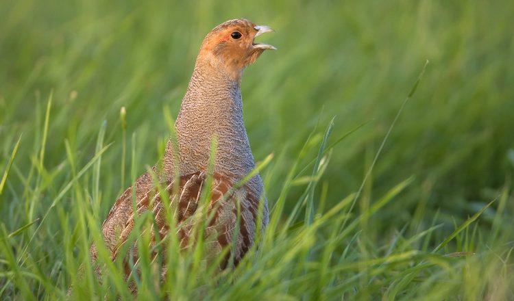 Attention aux nids de perdrix et de faisans