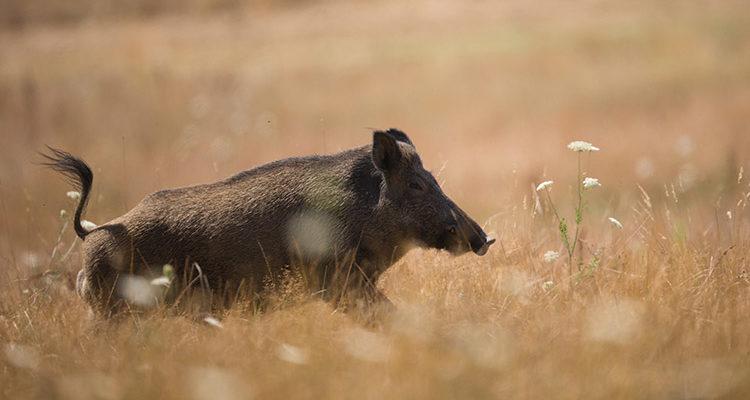 Peste porcine : mesures de précaution