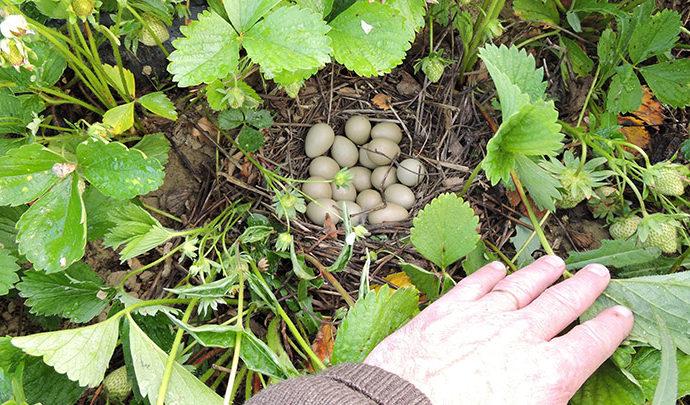 Ne laissez pas les nids de perdrix et de faisans abandonnés !