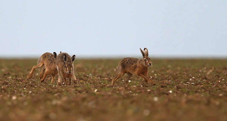 Vigilance sur les populations de lièvres